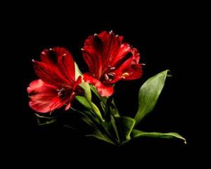 Red Campanula